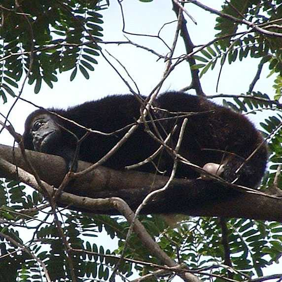Sad Howler Monkey